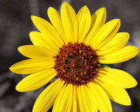 _MG_5418 yellow sunflowerwithgrayback8X10